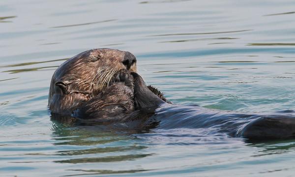 Sea Otter-0686