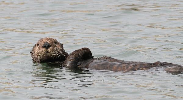 Sea Otter-0510