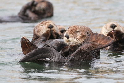 Sea Otter-0555