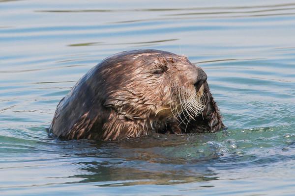Sea Otter-0701