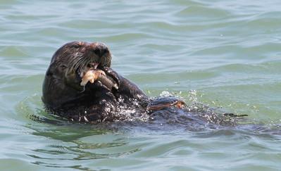 Sea Otter-1692