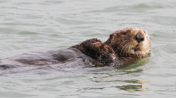 Sea Otter-0602