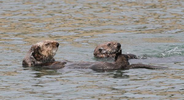 Sea Otter-0502
