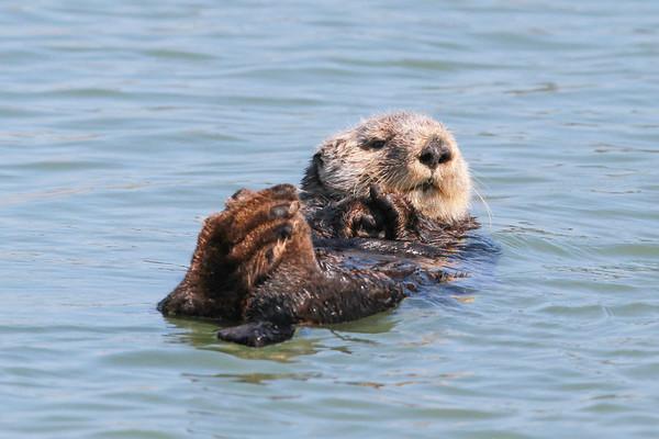 Sea Otter-1326
