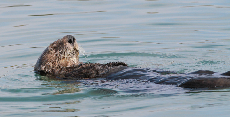 Sea Otter-0679