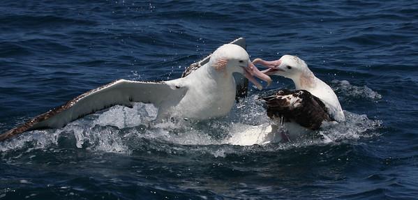 Wandering Albatross & Salvin's Mollymawk-7683