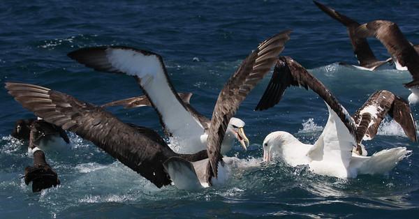 Wandering Albatross & Salvin's Mollymawk-7879