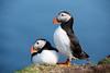 Puffins (Fratercula arctica) - Sumburgh Head, Shetland Isles