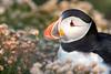 Puffin (Fratercula arctica) - Sumburgh Head, Shetland Isles