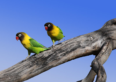 BLACK MASKED LOVEBIRDS - TARANGIRE, TANZANIA