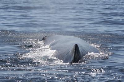 Sperm Whale-2072