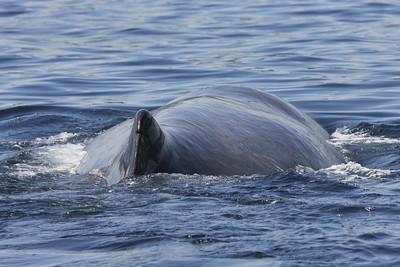 Sperm Whale-2041