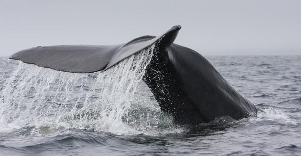Sperm Whale-1612