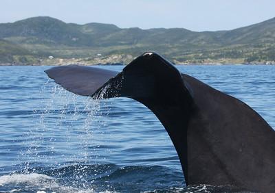 Sperm Whale-2114