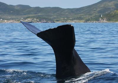 Sperm Whale-2120