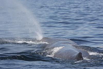 Sperm Whale-2028