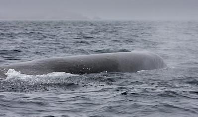 Sperm Whale-1584