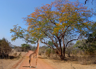 THORNICROFT'S GIRAFFE WITH WILD MANGO TREE - SOUTH LUANGWA , ZAMBIA