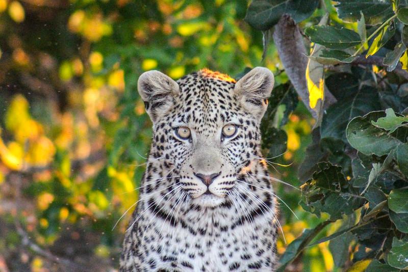 Leopard Friend, Botswana, Africa