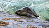 LaniakeaBeachHawaiianGreenSeaTurtle-022