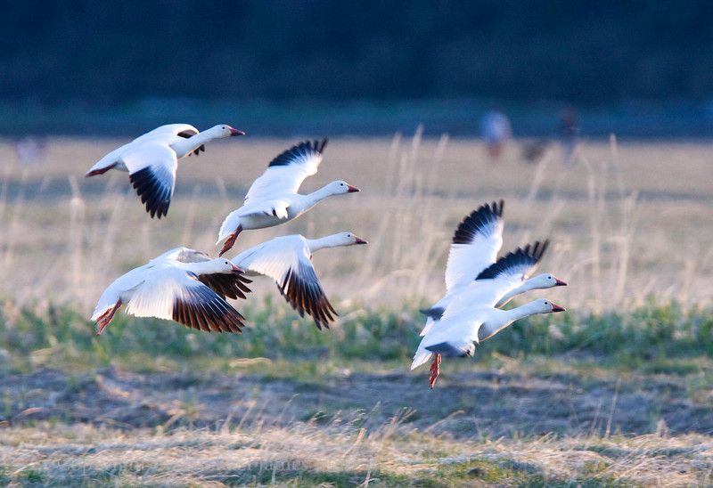 A gaggle of Snow Geese.
