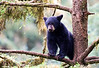 Looking for Mama, Black Bear Cub, Anan Creek, Alaska
