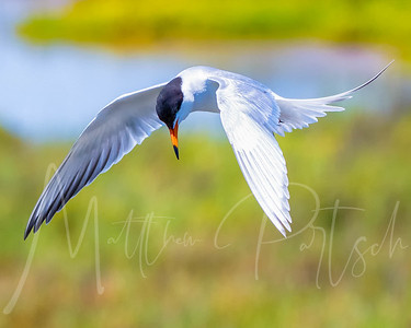 Forsters Tern Searching for food.