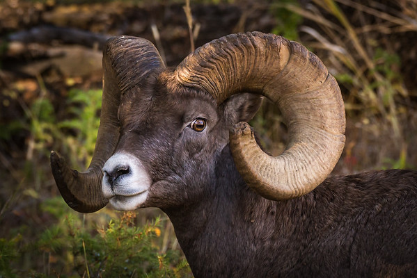 I thought of this image when @jessicaleboart  recently posted her drawing of another big horn sheep.  I liked the eye contact in this photo and thought it make a good subject someday.