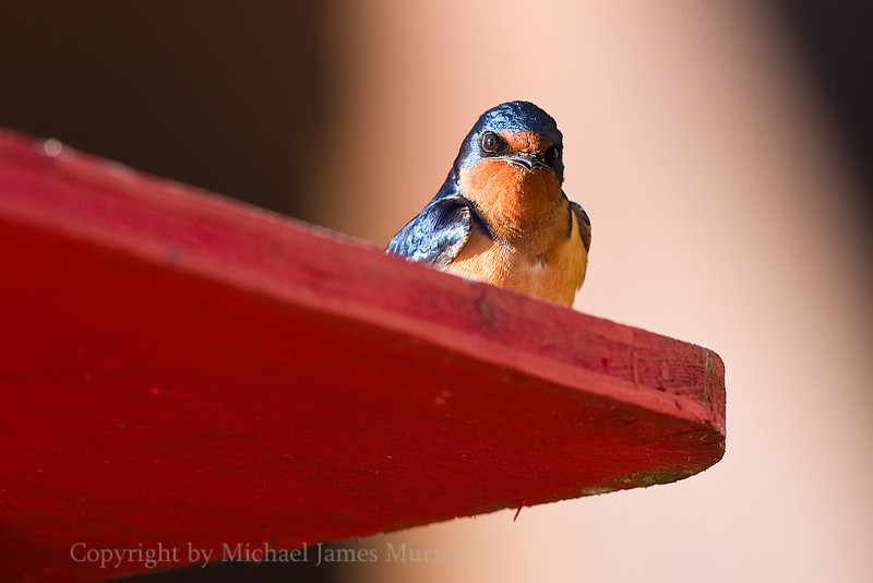 Barn Swallow, Bartlett Cove, Glacier Bay, Alaska.