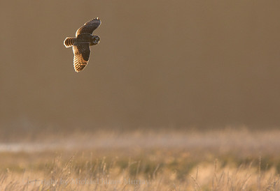 Short-eared Owl on the wing, Mendenhall Wetlands, Juneau, Alaska.