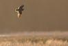 Short-eared Owl on the wing, Mendenhall Wetlands, Juneau, Alaska.