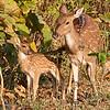 Deers: Mam & Babe / Олени: мама с малышом