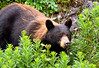 Juvenile Black Bear, Tracy Arm, Alaska