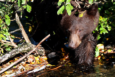 Shy Black Bear, Juneau, Alaska