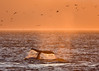 'A Long Way Yet to Go' - Humpback Whale Heads for the Sunset, Point Adolphus, Icy Strait, Alaska