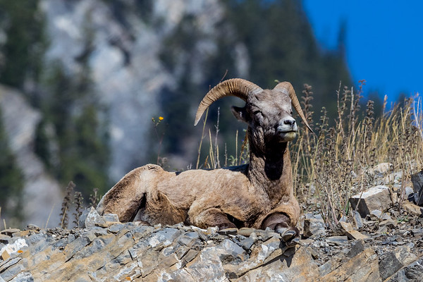 SOAKING UP THE SUN---- As we approach the middle of winter, do you recall how on some days the warmth of the sun feels soooo good? I think this Rocky Mountain Sheep was feeling the same way as it soaked up the sun on a cliff near Canmore, Alberta.  #cascadiaexplored #backyardbend #thebestofbend #jj_oregon          #centraloregon_igers #wildlife #wildlifephotography  #wildlife_perfection #animals    #wildlife_seekers #animal  #wildlifeplanet   #animalsofinstagram #animallovers    #igscwildlife #wildlifeaddicts      #instanature  #wildlifeonearth  #animals_in_world #splendid_animals #animals_captures #animal_fanatics #animalelite #animal_sultans  #wildlifephotography  #wildlifephoto #wildlifelovers  #wildlifeplanet #wildlifeonearth