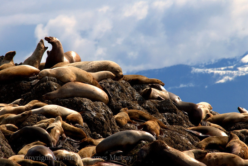 Barking Sea Lions, Brothers Island, Frederick Sound, Alaska.<br /> <br /> All animals featured on Nature In Depth are wild.  They have not been baited, captured, or threatened in any way.  Additionally, the images have not been digitally altered except to optimize the presentation of what was actually photographed.  Please practice respectful techniques when photographing animals and clearly label all composite or digitally altered images as such.  Let's keep photography noble!