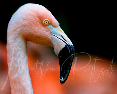 Profil de flamant  (Flamant is French for Flamingo)  This one looks french to me.  They do migrate to the Park of the Camargue near Arles in France.   These are Hollywood Flamingos enjoying their water and snacks on a tiny patch of grass at the LA zoo.  Fast fact: Flamingos are estimated to live between 25-60 years.