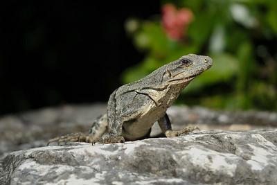Curious Iguana - Mexico
