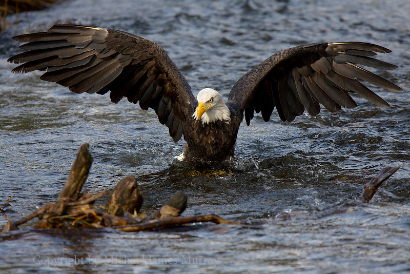 Spread Eagle.  A bald eagle fishing in Steep Creek.  Juneau, Alaska.