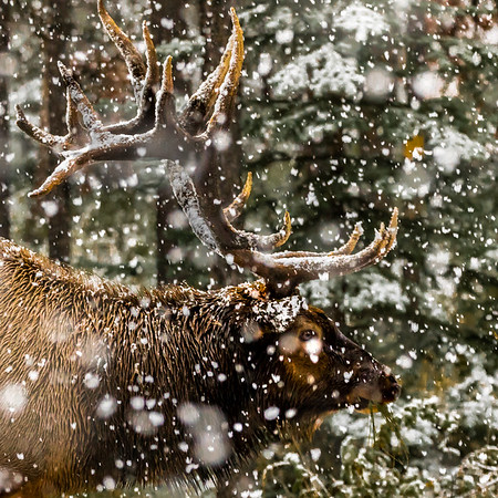 WELCOME TO WINTER---- With today being the first official day of winter, this bull elk in Jaspe, Alberta, Canada rshows that can continue as normal when the weather changes.  #wildlife #wildlifephotography #wildlife_perfection #animals    #wildlife_seekers #animal  #wildlifeplanet #animalsofinstagram #animallovers  #natgeowild #igscwildlife #instanature #wildlifeonearth #animal_captures #animals_in_world #splendid_animals #animals_captures #animal_fanatics #animalelite #wildlifephotography #wildlifephotography #wildlifephoto #wildlifelovers #wildlifeplanet #wildlifeonearth #natgeohub #natgeowildlife #natgeowild_hd #wildlifeperfection