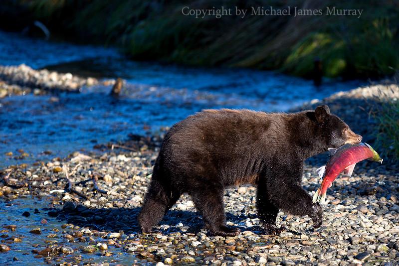 Colorful Alaskan Scene, Black Bear with Sockeye Salmon, Juneau, Alaska.