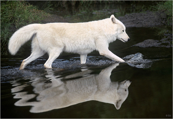 """Print title : """" SPIRIT OF THE WOLF """""""