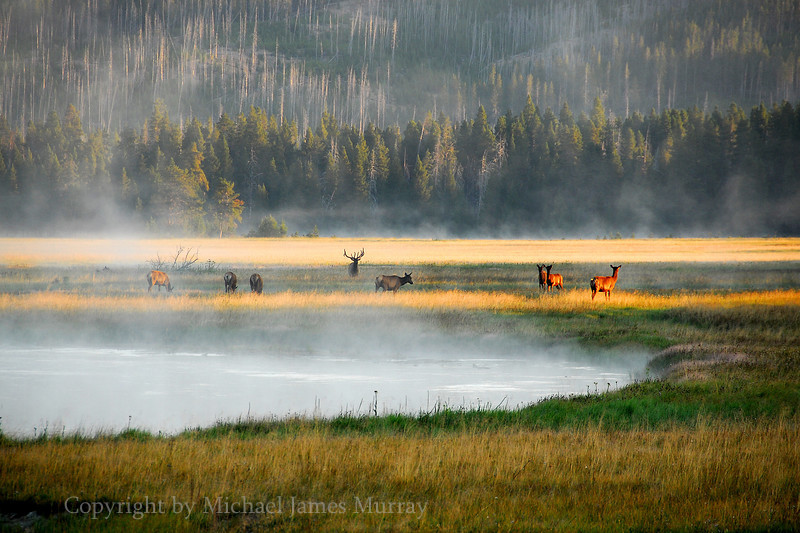 Early Congregation.  Elk in Yellowstone National Park, Wyoming.<br /> <br /> All animals featured on Nature In Depth are wild.  They have not been baited, captured, or threatened in any way.  Additionally, the images have not been digitally altered except to optimize the presentation of what was actually photographed.  Please practice respectful techniques when photographing animals and clearly label all composite or digitally altered images as such.  Let's keep photography noble!