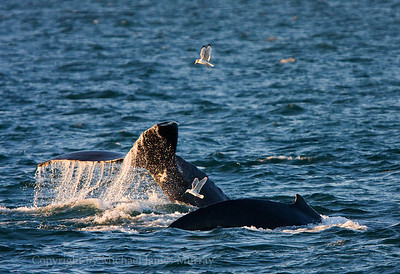 Humpback Whales Underway, Point Adolphus, Icy Strait, Alaska