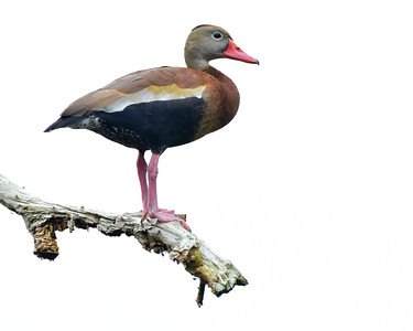 Whistling Duck found in Florida at Circle B Bar Reserve