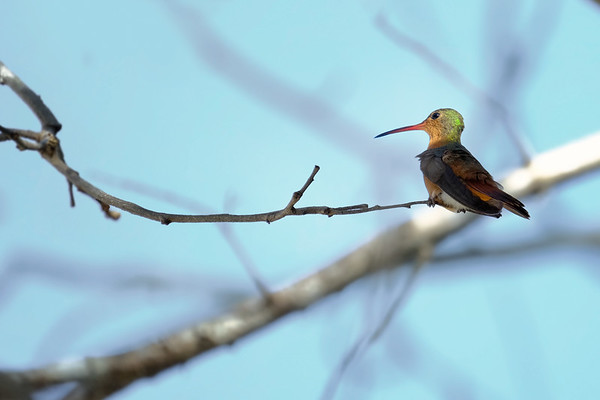 Seated Hummingbird - Mexico
