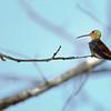 Seated Hummingbird - Mexico
