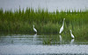 GreatEgret-005