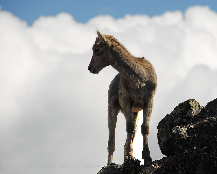 Juvenile Big Horn Sheep contemplating the view from Mount Washburn, Yellowstone National Park, Wyoming